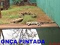 Bosque Fábio Barreto em Ribeirão Preto. Onça Pintada (Panthera onca) - panoramio.jpg