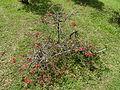 Botanical Garden of Peradeniya 30.JPG