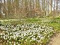 Botanischer Garten - Anemonen - geo.hlipp.de - 35121.jpg