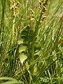 Botrychium lunaria (leaves).jpg