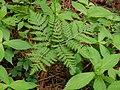 Botrychium virginianum natunohnwrb03.jpg