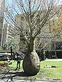 Bottle tree. - panoramio.jpg