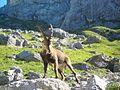Bouquetin des Alpes (Capra ibex) 03.JPG