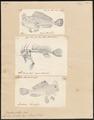 Brachionichthys hirsutus - 1700-1880 - Print - Iconographia Zoologica - Special Collections University of Amsterdam - UBA01 IZ13600193.tif