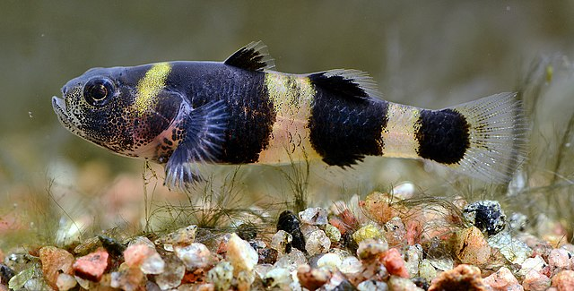 Bumblebee Goby - Small Freshwater Fish
