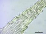 Brachythecium salebrosum (f, 145052-482551) 3092.JPG