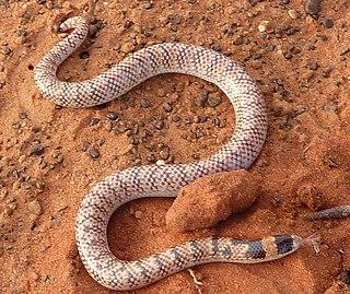 <i>Brachyurophis fasciolatus</i> Species of snake