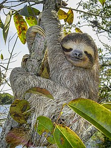Brown-throated three-toed sloth(Bradypus variegatus)Gatun Lake, Republic of Panama.