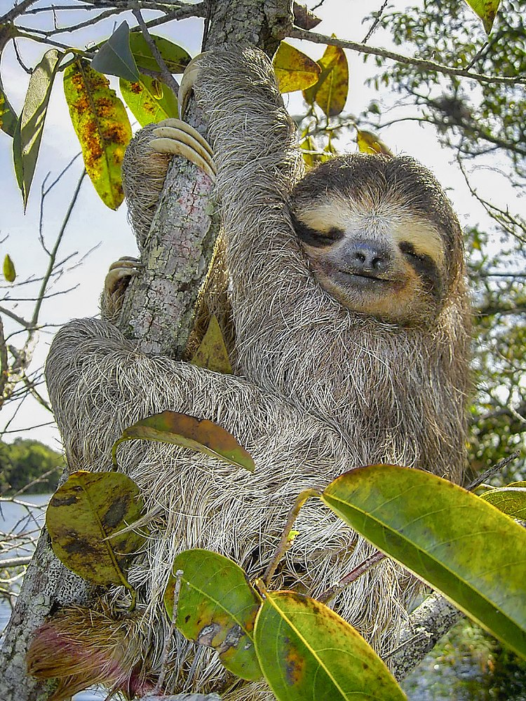 The average adult weight of a Brown-throated sloth is 4 kg (8.81 lbs)