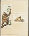 Bradypus tridactylus - 1700-1880 - Print - Iconographia Zoologica - Special Collections University of Amsterdam - UBA01 IZ21000163.tif