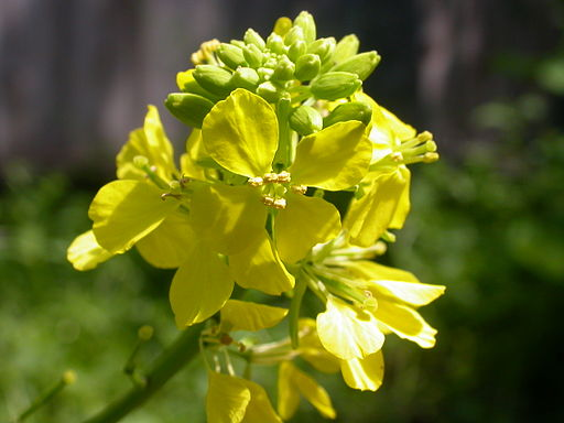 Brassica nigra (4995050290)