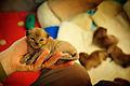British burmese kitten - Geisha i hand.jpg