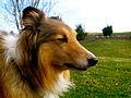 Brody The shetland sheepdog.JPG