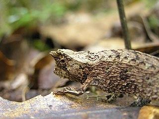 Brookesiinae Subfamily of lizards