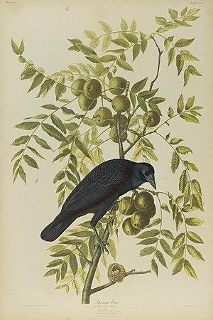 American crow - Brooklyn Museum - American crow - John J. Audubon