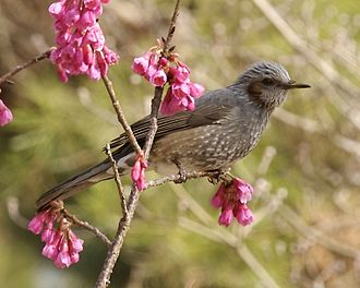 Brown-eared bulbul - Adult, subspecies squamiceps, Kyoto (Japan)