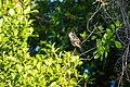 Brown crested flycatcher (47743013091).jpg