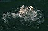 Brown pelican splash.JPG