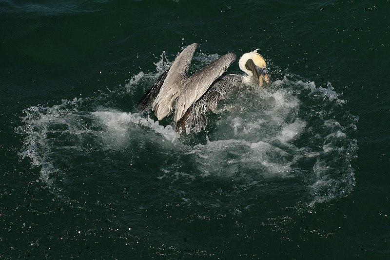 File:Brown pelican splash.JPG