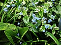 Brunnera-macrophylla-2.jpg