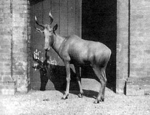Bubal hartebeest - A female hartebeest in 1895