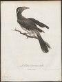 Buceros melanoleucus - 1796-1808 - Print - Iconographia Zoologica - Special Collections University of Amsterdam - UBA01 IZ19300119.tif