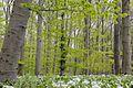 Buchen- und Bärlauchwald im südlichen Süntel im Naturpark Weserbergland Schaumburg-Hameln (file004).jpg