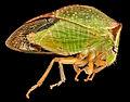 Buffalo Treehopper, side, MD, PG County 2013-08-20-17.33.42 ZS PMax (9579134248).jpg