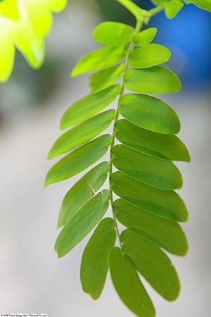 Bulnesia arborea - Image: Bulnesia arborea 7zz