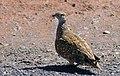 Burchell's Sandgrouse (Pterocles burchelli) male ... (31231090977).jpg