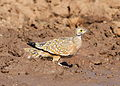 Burchell's sandgrouse, Pterocles burchelli, at Mapungubwe National Park, Limpopo, South Africa (17975506042).jpg