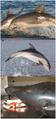 Burrunan Dolphin (Tursiops australis)-panel.png