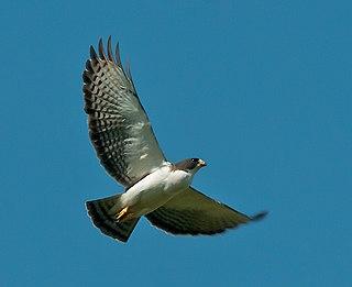 Short-tailed hawk species of bird