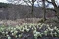 Butterbur by Speyside - geograph.org.uk - 706843.jpg