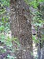 Butterflies on a tree.JPG