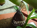 Butterfly-Newly emerged.JPG