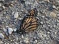 Butterfly (8132929831).jpg