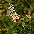 Butterfly 1410379 Nevit.jpg