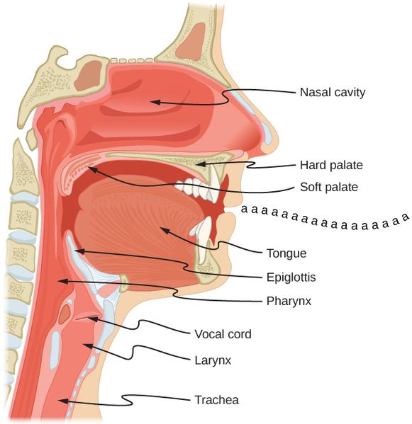 File:CNX UPhysics 17 05 Larynx.png
