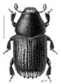 COLE Curculionidae Phloeosinus cupressi.png