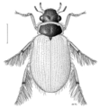 COLE Hydrophilidae Berosus pallidipennis.png