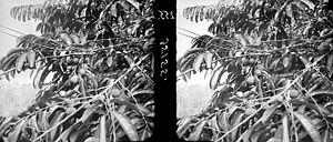 COLLECTIE TROPENMUSEUM Detailopname van vruchten van het gewas Taraktogenos van rubbermaatschappij Tjipetir TMnr 10012522.jpg