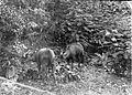 COLLECTIE TROPENMUSEUM Twee hertachtigen in de bossen van Donggala TMnr 60014354.jpg