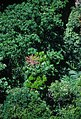 CSIRO ScienceImage 1594 Rainforest Canopy.jpg