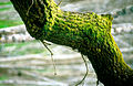 CSIRO ScienceImage 4067 Moss on trunk of willow tree in the Adelaide Hills SA 1992.jpg