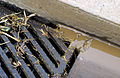 CSIRO ScienceImage 4274 Kerb and guttering with roadside drainage grill after rain Griffith NSW.jpg