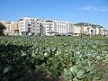 Cabbage field Warsaw.jpg