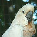 Cacatua moluccensis -Ardastra Gardens, Zoo and Conservation Centre, Nassau, Bahamas-8a (1).jpg