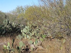 Encinal, Texas - Image: Cactus in Encinal, TX IMG 2466