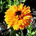 Calendula officinalis090718.jpg